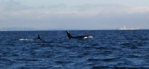 Zwei Killer-Wale